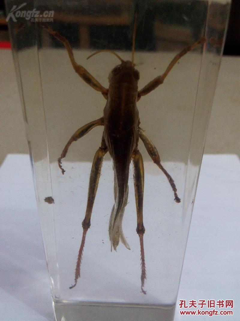 昆虫标本琥珀!