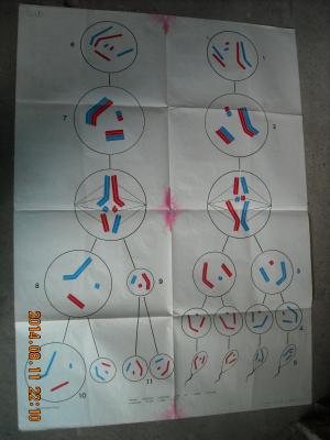【图】精子和卵细胞的形成过程 高中课本生物