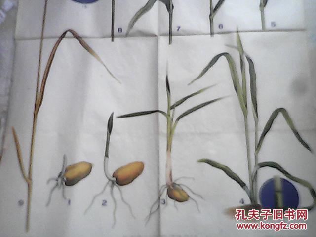 小麦生长过程