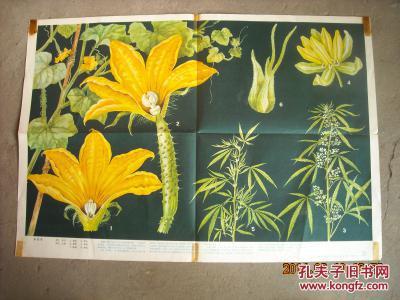 单性花 初级中学课本植物学挂图 花和果实7(3)