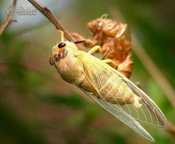 金蝉养殖的步骤,金蝉养殖方法