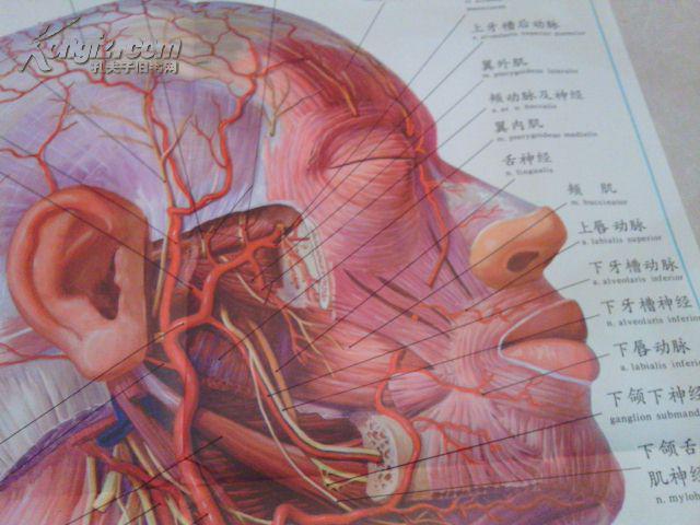 头颈部血管解剖图谱