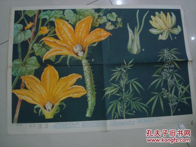 81年对开挂图;单性花\/上海教育出版。刘攸蕴绘