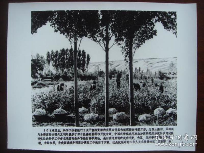 向科技高峰攀登 建国三十五周年重大科技成果集锦 (配合国庆宣传稿之二):6、中国科学院冰川冻土沙漠研究所沙坡头沙漠试验研究站的工作人员在收摘棉花(新华社新闻展览照片1984年)