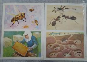 幼儿园常识教育挂图   昆虫 (蜜蜂  蚂蚁,共两张)