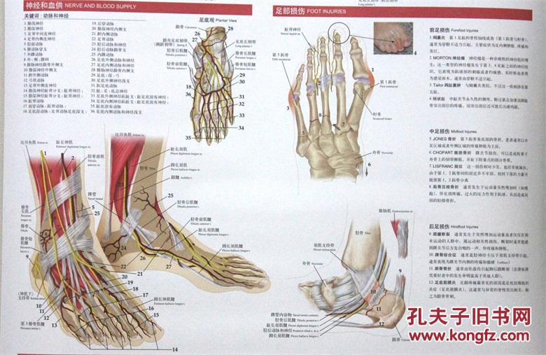 正版 足和踝关节解剖与创伤挂图 美 哈钦木森 Hutchinson,M.R. , 美 布
