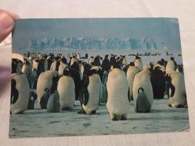 明信片:帝企鹅群——八十年代初出版