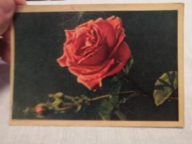 明信片:前苏联出版月季
