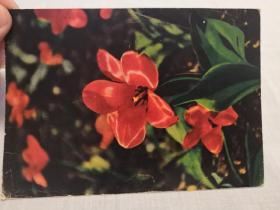 明信片:前苏联出版——花卉1960年