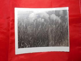 老照片:《茁壮的小麦》
