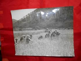老照片:《藏南丰收》(记者 佚名 摄)