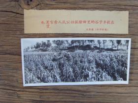 老照片:【※1959年,甘肃兰州市榆中县夏官营公社,谷子丰收在望※】