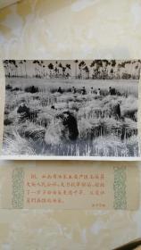 老照片《云南省玉溪县大街公社--社员在抢收油菜》1959年