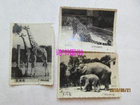 老照片:广州动物园《亚洲象》、《金钱豹》、《长颈鹿》 各一张