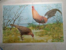 中学生物学教学挂图 脊椎动物    鸟纲    原鸡