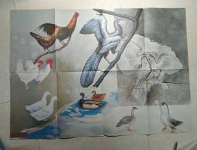九年义务教育中学动物教学挂图 35    家禽的起源
