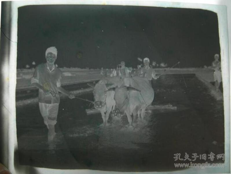 老底片——农村广阔新天地——知青——犁田。 【陌上花开系列】