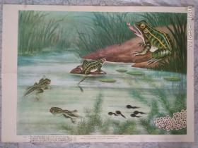 教学挂图   青蛙的一生  1978一版一印  上海教育出版社