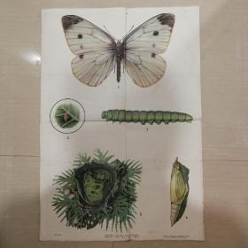1966年宣传画菜粉蝶
