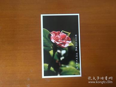 茶梅明信片1张(空白未用)