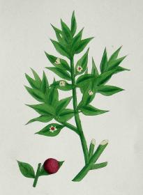 """1899年版《英国植物学图谱》 — """"假叶树""""木版画手工上色/24x17cm"""