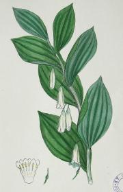"""1899年版《英国植物学图谱》 — """"药用黄精""""木版画手工上色/24x17cm"""
