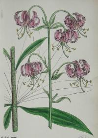"""1899年版《英国植物学图谱》 — """"欧洲百合""""木版画手工上色/24x17cm"""
