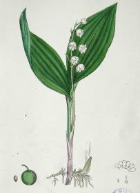 """1899年版《英国植物学图谱》 — """"玲兰花""""木版画手工上色/24x17cm"""