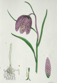 """1899年版《英国植物学图谱》 — """"花格贝母""""木版画手工上色/24x17cm"""