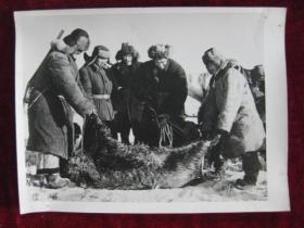 老照片   新疆乌苏县东风人民公社的哈萨克族打猎队打到一只大野猪    麻面厚纸      照片20厘米宽15厘米    B箱——19号袋