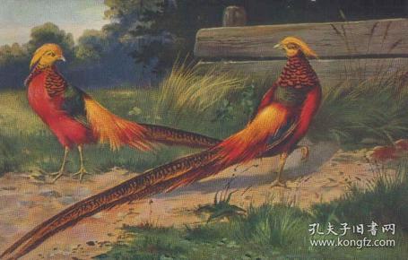 老明信片,清代民国时期明信片,红腹锦鸡明信片