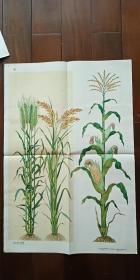 1960年出版印刷 彩色宣传画 2开 《小麦 稻子 玉蜀黍》肖远聘 绘  私藏近全新 厚纸