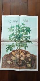 1960年出版印刷 彩色宣传画 2开 《马铃薯 》马蝶仙  绘 有少许水渍