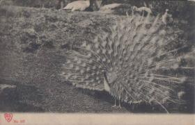 老明信片,清代民国时期明信片,孔雀