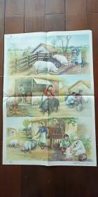 1960年出版印刷 彩色宣传画 2开 《养猪》沈枬  绘  私藏近全新 厚纸