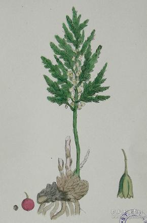 """1899年版《英国植物学图谱》 — """"芦笋""""木版画手工上色/24x17cm"""