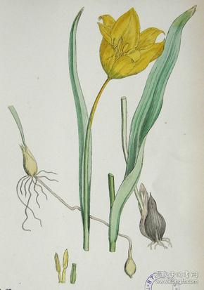 """1899年版《英国植物学图谱》 — """"野郁金香""""木版画手工上色/24x17cm"""