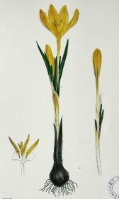 """1899年版《英国植物学图谱》 — """"黄番红花""""木版画手工上色/24x17cm"""