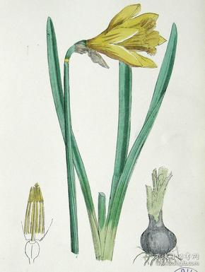 """1899年版《英国植物学图谱》 — """"黄水仙""""木版画手工上色/24x17cm"""