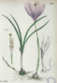 """1899年版《英国植物学图谱》 — """"走茎番红花""""木版画手工上色/24x17cm"""