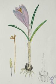 """1899年版《英国植物学图谱》 — """"荷兰番红花""""木版画手工上色/24x17cm"""