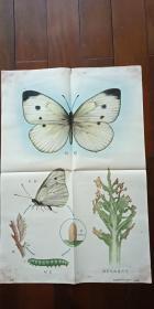 1960年出版印刷 彩色宣传画 2开 《粉蝶 》 方洞  绘 有少许水渍