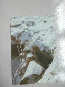民信片:紫貂