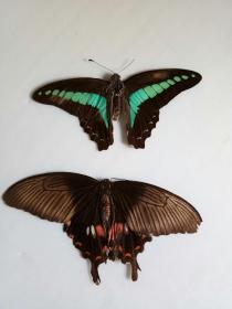 蝴蝶标本,,50年代的