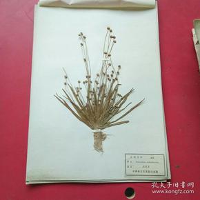 中草药植物标本,民国时期制作,中华教育用具制造厂制,80余种