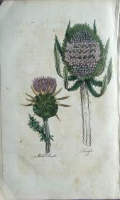 """1812年版《药用植物学图谱》 — """"MILK THISTLE""""木版画手工上色/20.5x13cm"""