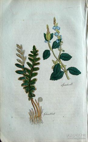 """1812年版《药用植物学图谱》 — """"SPEEDWELL""""木版画手工上色/20.5x13cm"""