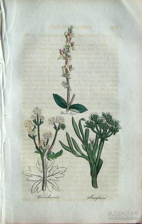 """1812年版《药用植物学图谱》 — """"WOOD SAGE""""木版画手工上色/20.5x13cm"""