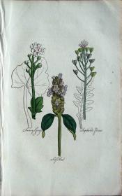 """1812年版《药用植物学图谱》 — """"SELF HEAL""""木版画手工上色/20.5x13cm"""