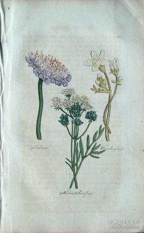 """1812年版《药用植物学图谱》 — """"WHITE SAXIFRAGE""""木版画手工上色/20.5x13cm"""